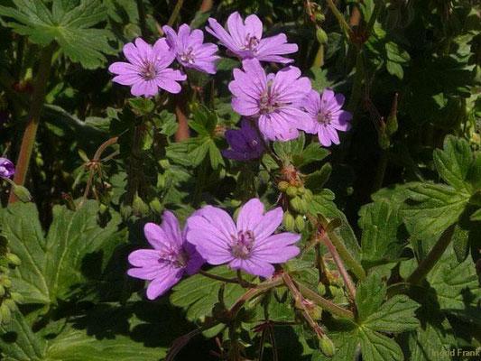 Geranium pyrenaicum - Pyrenäen-Storchschnabel    V-X