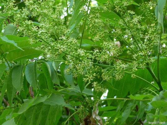 Ailanthus altissima - Drüsiger Götterbaum