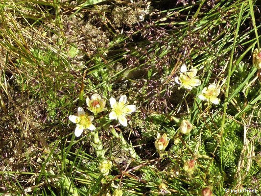 Saxifraga bryoides / Moosartiger Steinbrech