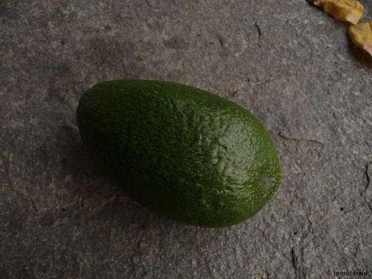 Persea americana - Avocado