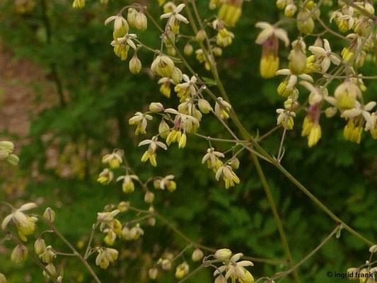 Thalictrum minus / Kleine Wiesenraute     V-VIII      (Botanischer Garten Heidelberg)