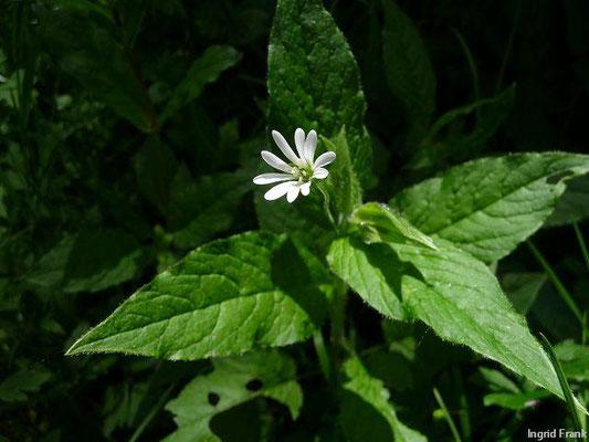 Stellaria nemorum - Hain-Sternmiere    V-VI