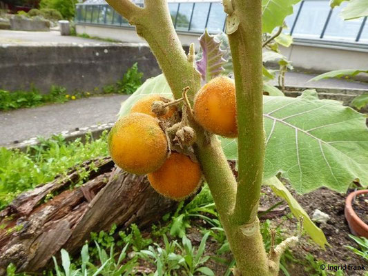 Solanum quitoense - Naranjilla, Lula