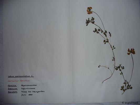 (38) Lotus corniculatus - Gemeiner Hornklee