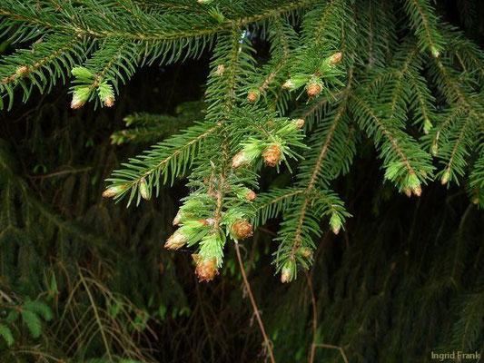 29.04.2011-Picea abies - Fichte, Rottanne