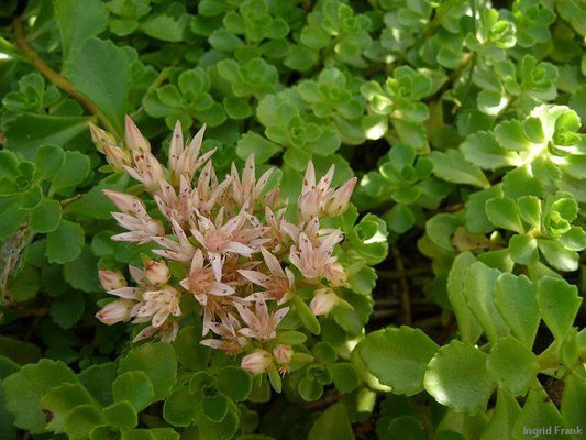 18.07.2012-Sedum spurium - Zweifelhafte Fetthenne, Kaukasus-Fetthenne (Garten in Weingarten)