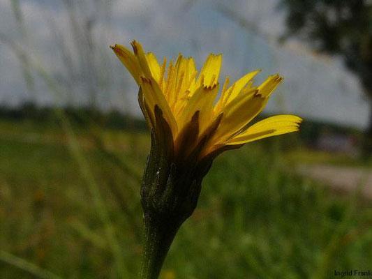 Leontodon hispidus ssp. hispidus / Gewöhnlicher Steifhaariger Löwenzahn