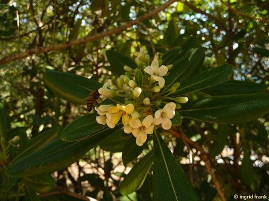 Pittospora tobira - Chinesischer Pechsamenstrauch, Klebsame