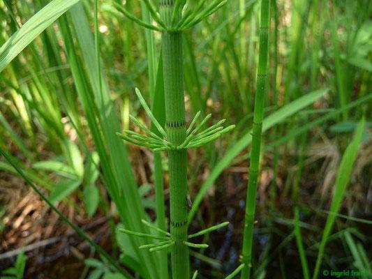 Equisetum fluviatile - Teich-Schachtelhalm