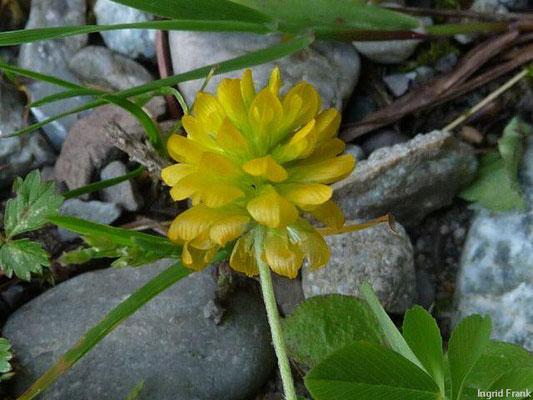 Trifolium aureum - Gold-Klee