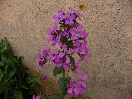 Lunaria annua - Einjähriges Silberblatt