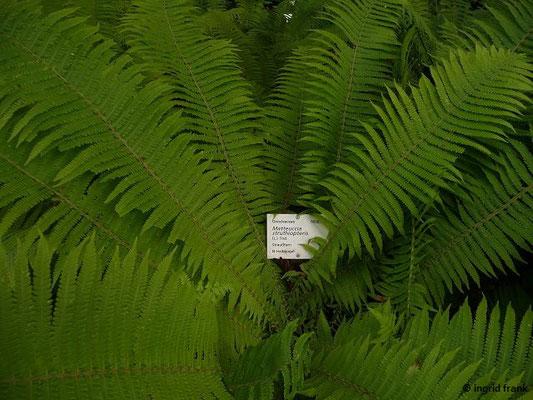 Mattheucia struthiopteris / Straußenfarn (Botanischer Garten Universität Heidelberg)