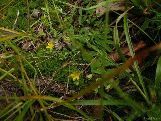 Hypericum humifusum / Niederliegendes Johanniskraut