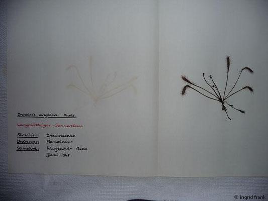 (51) Drosera anglica - Langblättriger Sonnentau