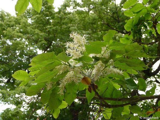 Fraxinus ornus / Manna-Esche, Blumen-Esche