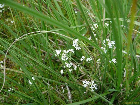 Galium palustre / Sumpf-Labkraut