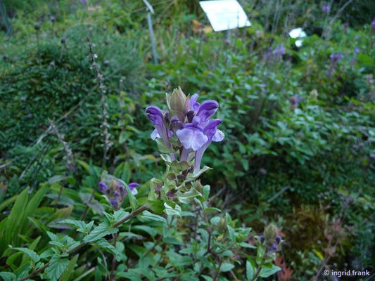 Scutellaria alpina / Alpen-Helmkraut (Botanischer Garten Universität Heidelberg)