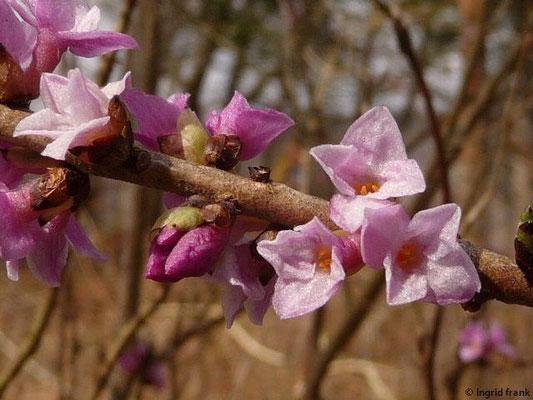 Daphne mezereum - Gewöhnlicher Seidelbast