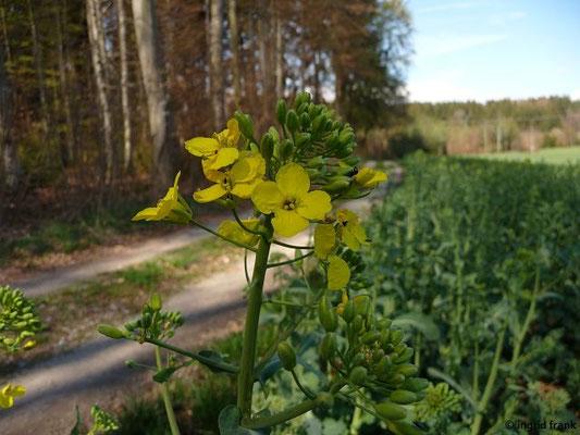 Brassica napus ssp. napus - Raps    IV-IX