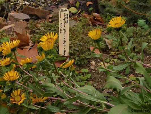Haplopappus glutinosus  (Botanischer Garten Leipzig)