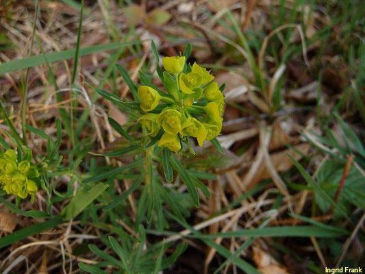 Euphorbia cyparissias - Zypresssen-Wolfsmilch    IV-V