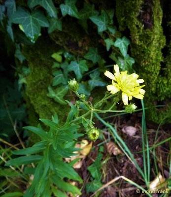 Hieracium umbellatum / Dolden-Habichtskraut