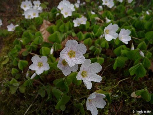 Oxalis acetosella / Wald-Sauerklee