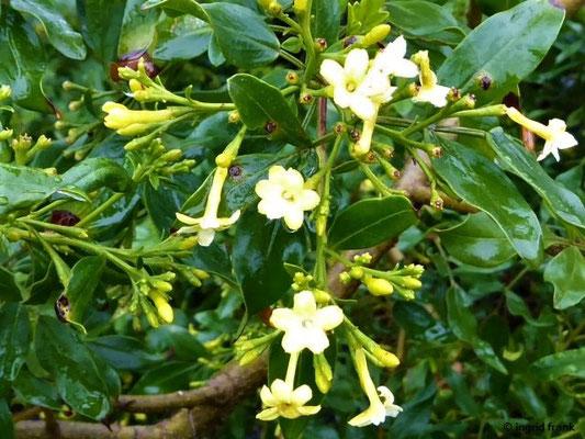 Jasminum odoratissimum - Wohlriechender Jasmin
