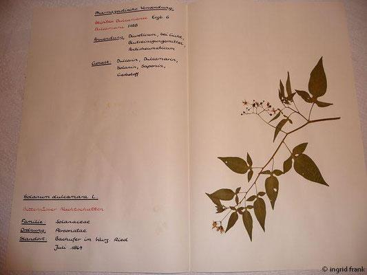 (106) Solanum dulcamara - Bittersüßer Nachtschatten