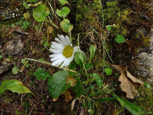 Belldiastrum michelii / Alpenmaßlieb