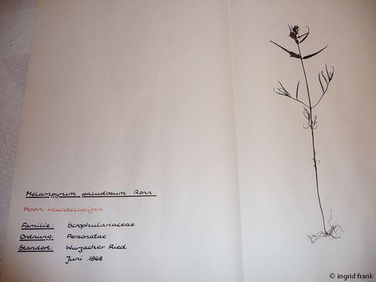 (110) Melampyrum paludosum - Moor-Wachtelweizen