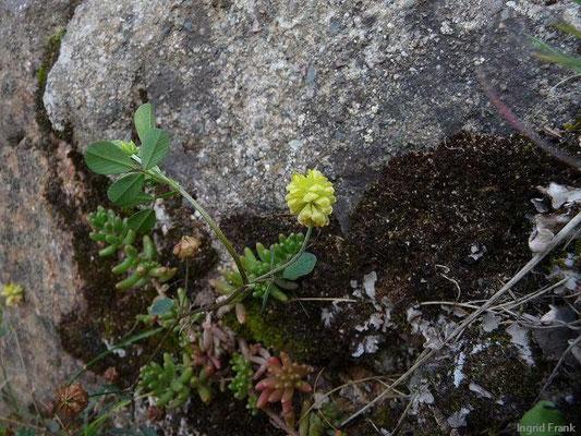 Trifolium campestre - Feld-Klee