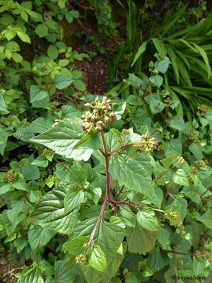 Ageratina adenophora - Drüsiger Wasserdost (Heimat: Mittelmaerika)