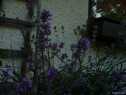 28.06.2010-Lavandula angustifolia - Lavendel