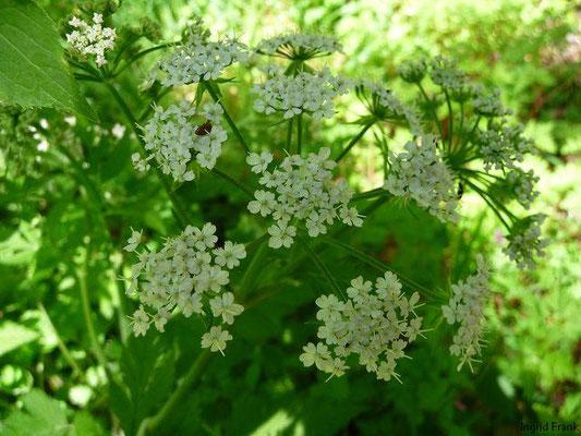 Chaerophyllum spec. / Kälberkropf-Arten