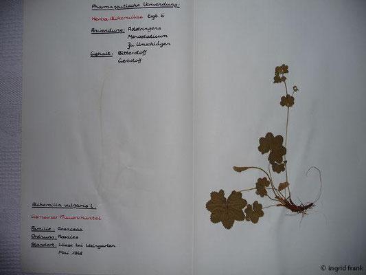 Alchemilla vulgaris / Gewöhnlicher Frauenmantel