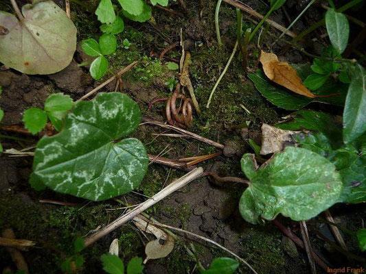 17.05.2010-Cyclamen hederifolium - Efeublättriges Alpenveilchen