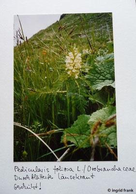 Pedicularis foliosa / Durchblättertes Läusekraut