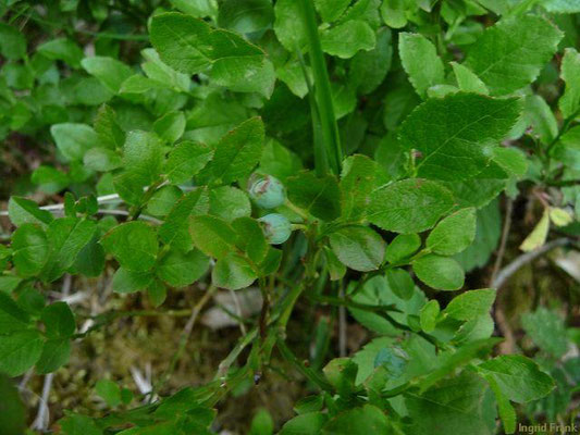 Vaccinium myrtillus / Heidelbeere