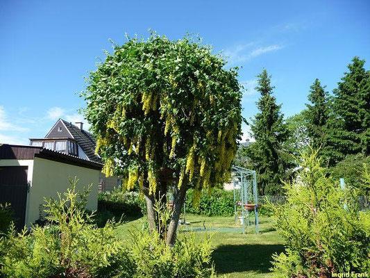 25.05.2012-Laburnum anagryoides - Gewöhnlicher Goldregen