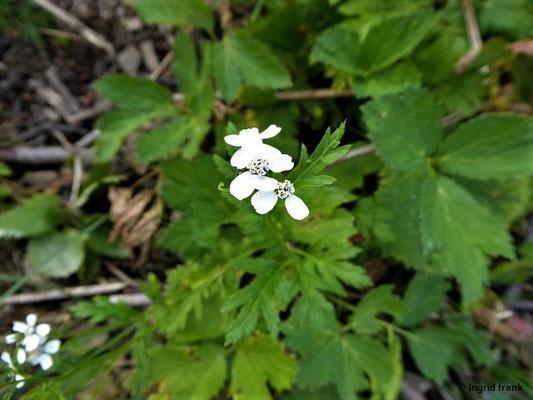 Achillea macrophylla - Großblättrige Schafgarbe    (VII-IX