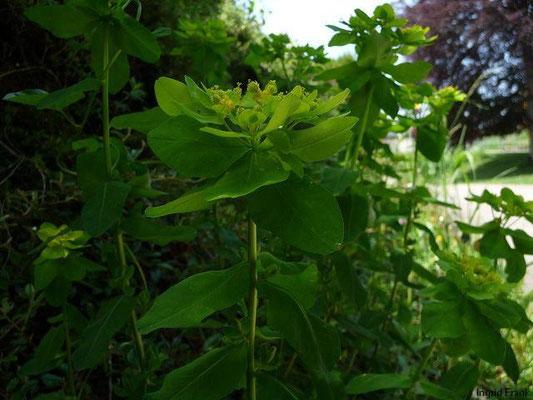 Euphorbia epithymoides - Vielfarbige Wolfsmilch