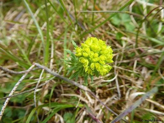 Euphorbia cyparissias / Zypressen-Wolfsmilch