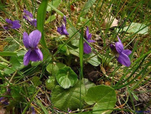 Viola odorata / Wohlriechendes Veilchen, März-Veilchen