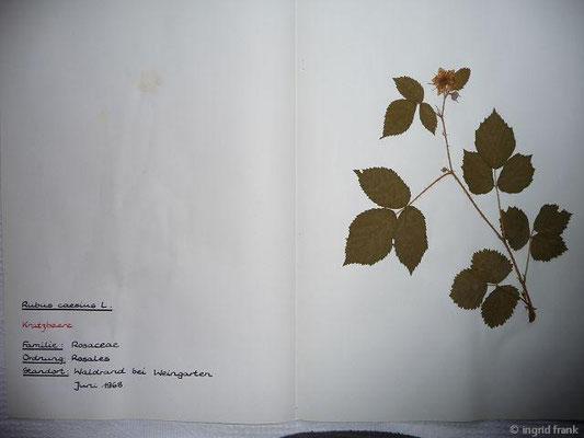 (19) Rubus caesius - Kratzbeere