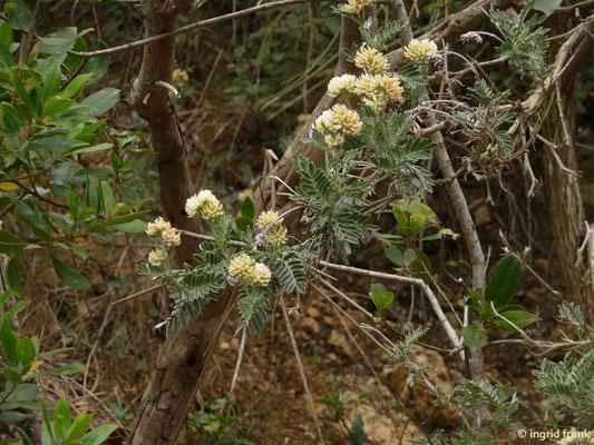 Anthyllis barba-jovis - Jupiterbart