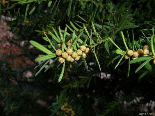 Taxus baccata / Eibe