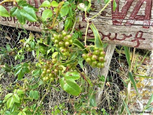 Dioscorea communis - Gewöhnliche Schmerwurz