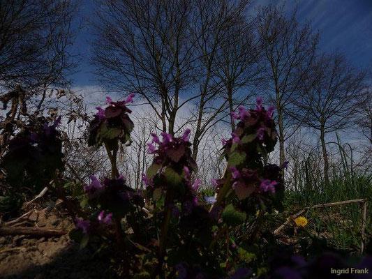 11.04.2010-Lamium purpureum - Purpurrote Taubnessel (bei Schloss Kirchberg)