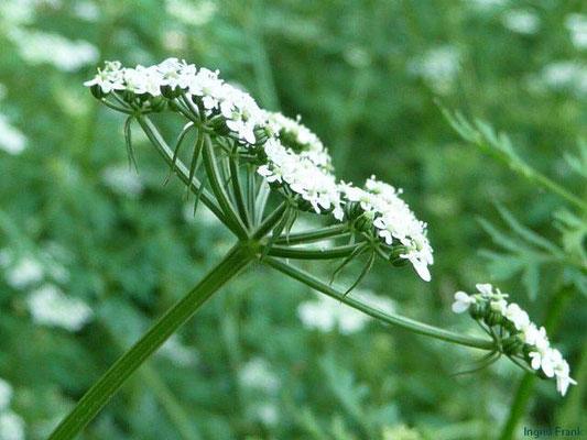 Aethhusa cynapium - Hundspetersilie